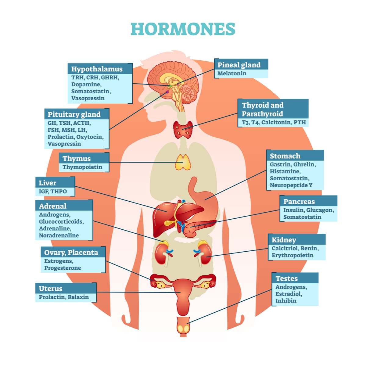Diagram of the human body showing where the different hormones are and their roles