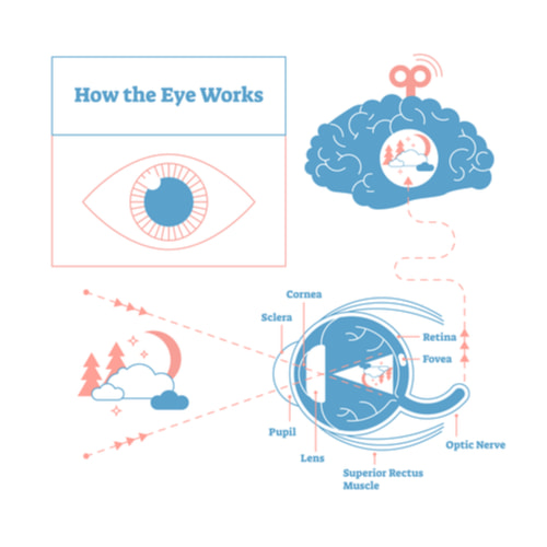 Eye - brain labeled structure diagram.