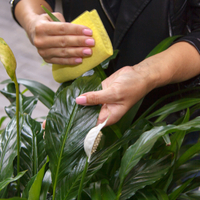 Transplant and spraying for insects for indoor plant health