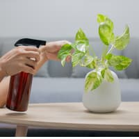 Woman is spraying Liquid fertilizer the foliar feeding on the golden pothos on the wooden table in the living room
