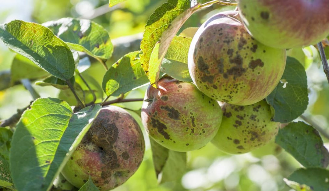 Apples on a tree infected by apple scab