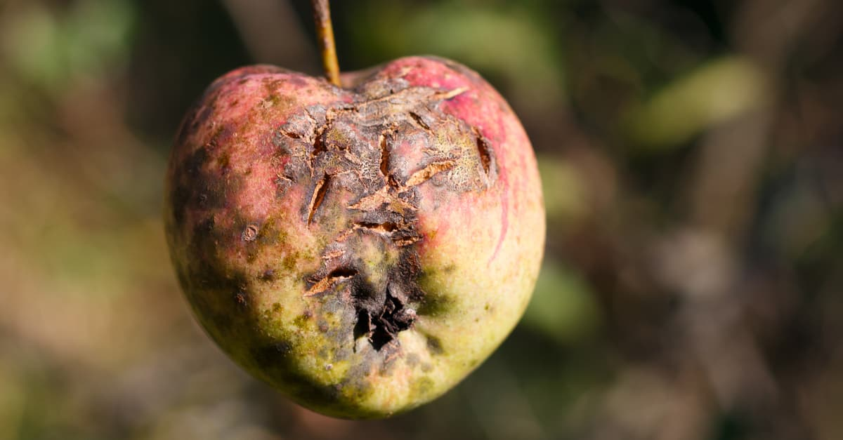 Apple infection with black crust