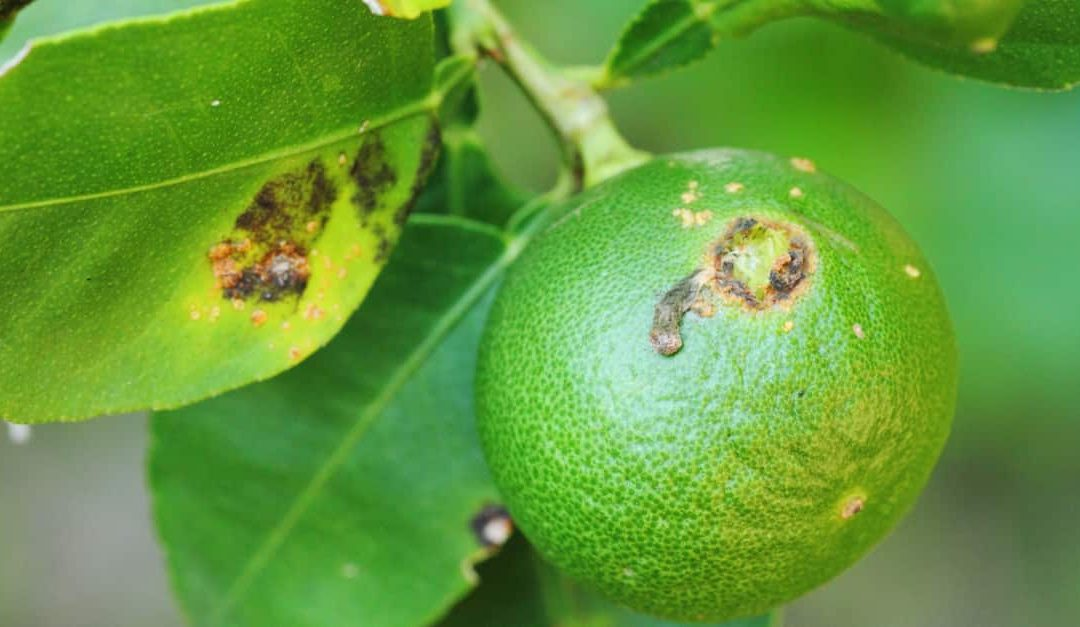 Leaves and fruit affected by citrus canker