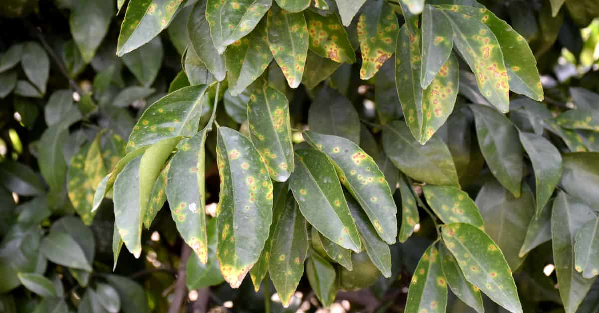 Leaves infected by the bacterium Xanthomonas axonopodis that causes citrus canker