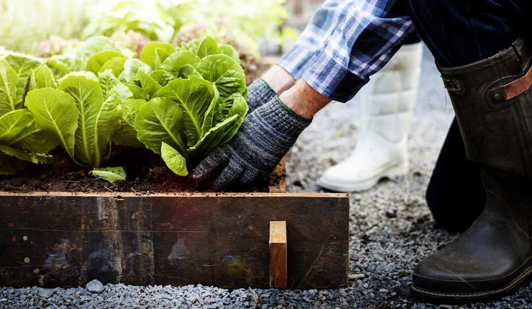 Senior couple picking vegetables from garden