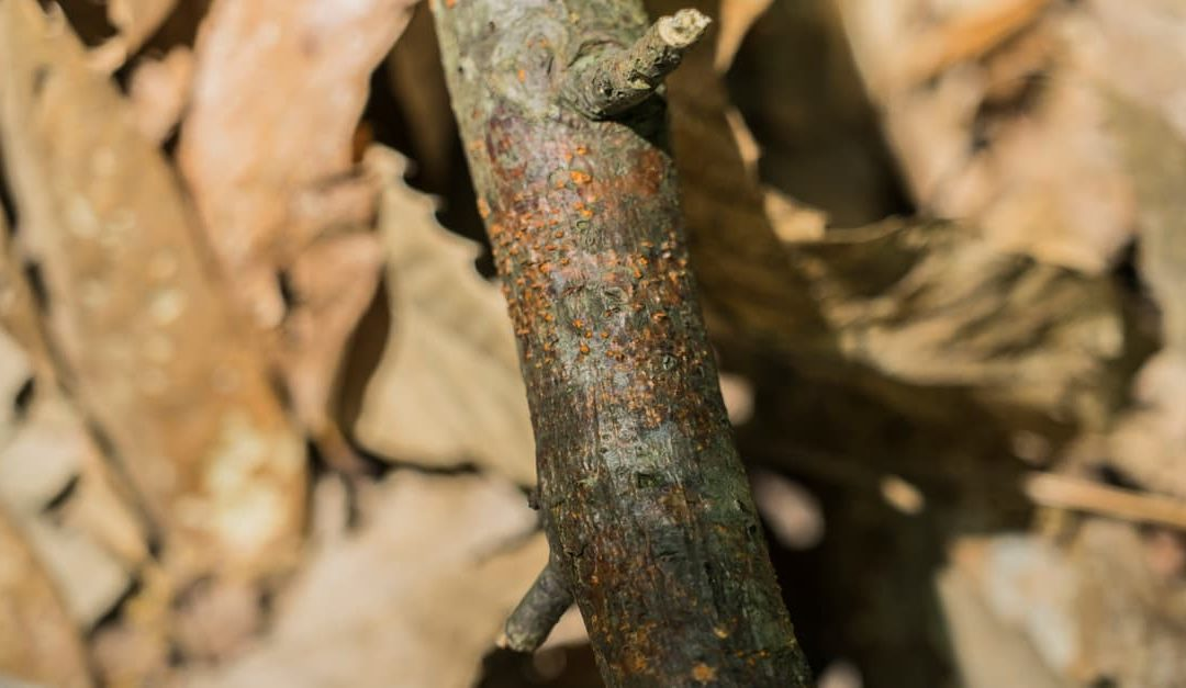 Cryphonectria Parasitica commonly known as chestnut blight