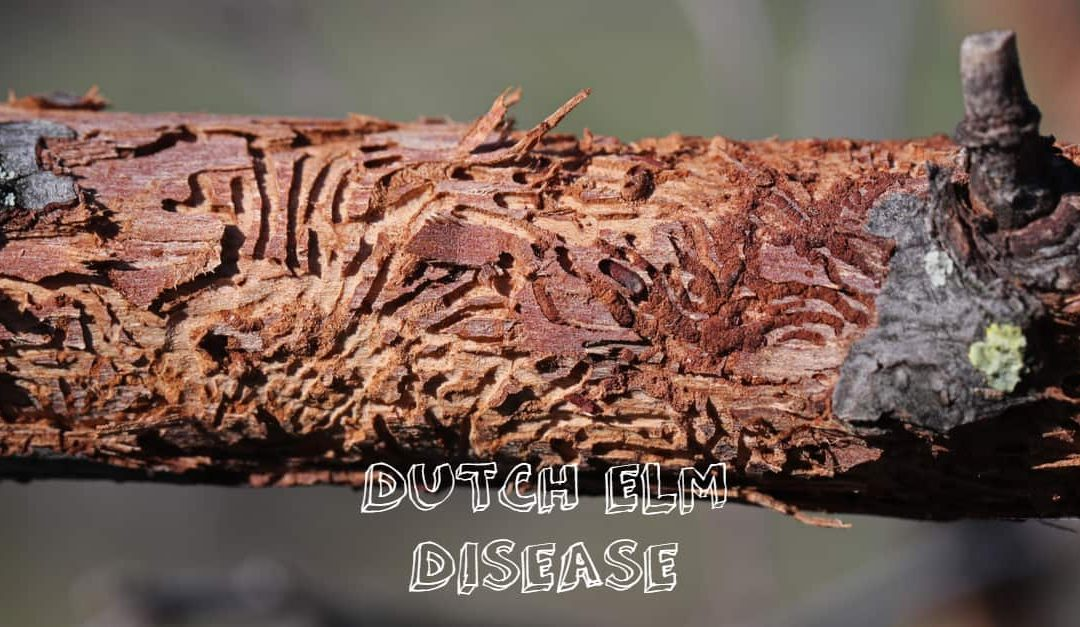 A closeup photo of a tree infected with dutch elm disease