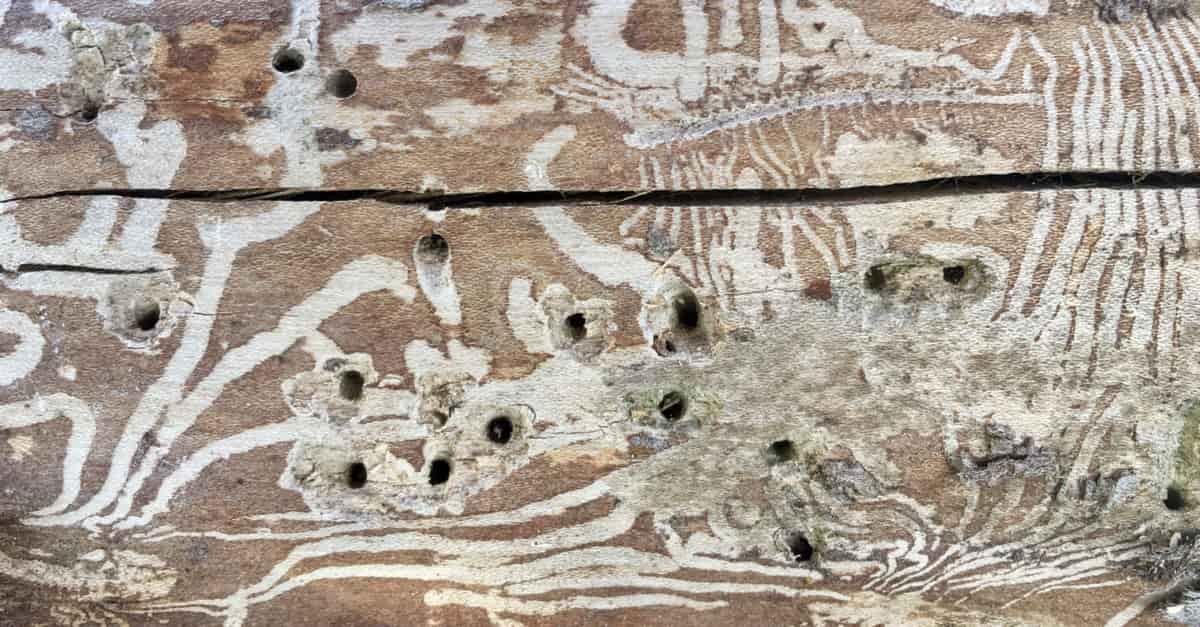 Close up of Elm tree wood showing patterns elm bark beetle leave, spreading Dutch Elm Disease