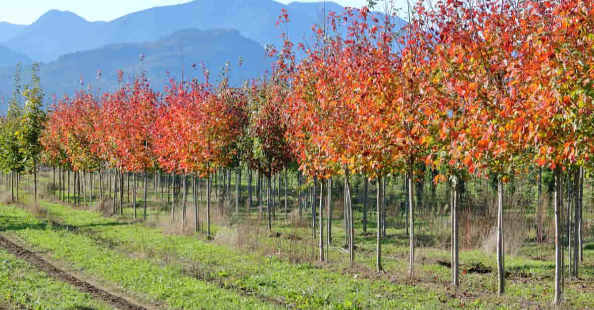 Elm tree saplings and their bright red leaves on a tree farm during the autumn months