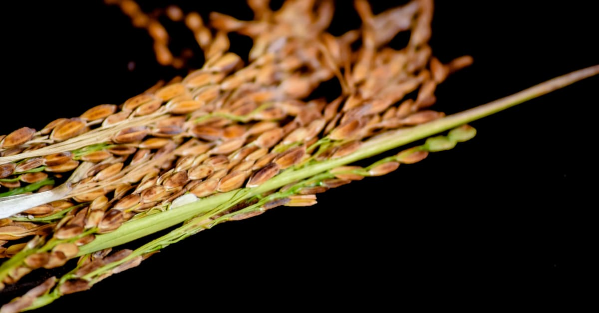 The panicles of a healthy rice crop after harvesting from the field of India.