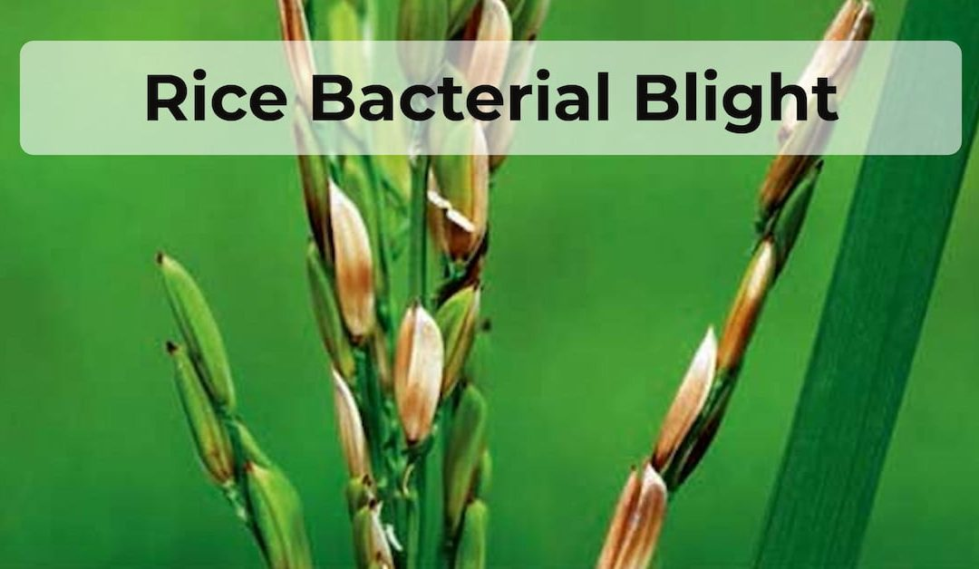 A rice plant infected by Rice Bacterial Blight