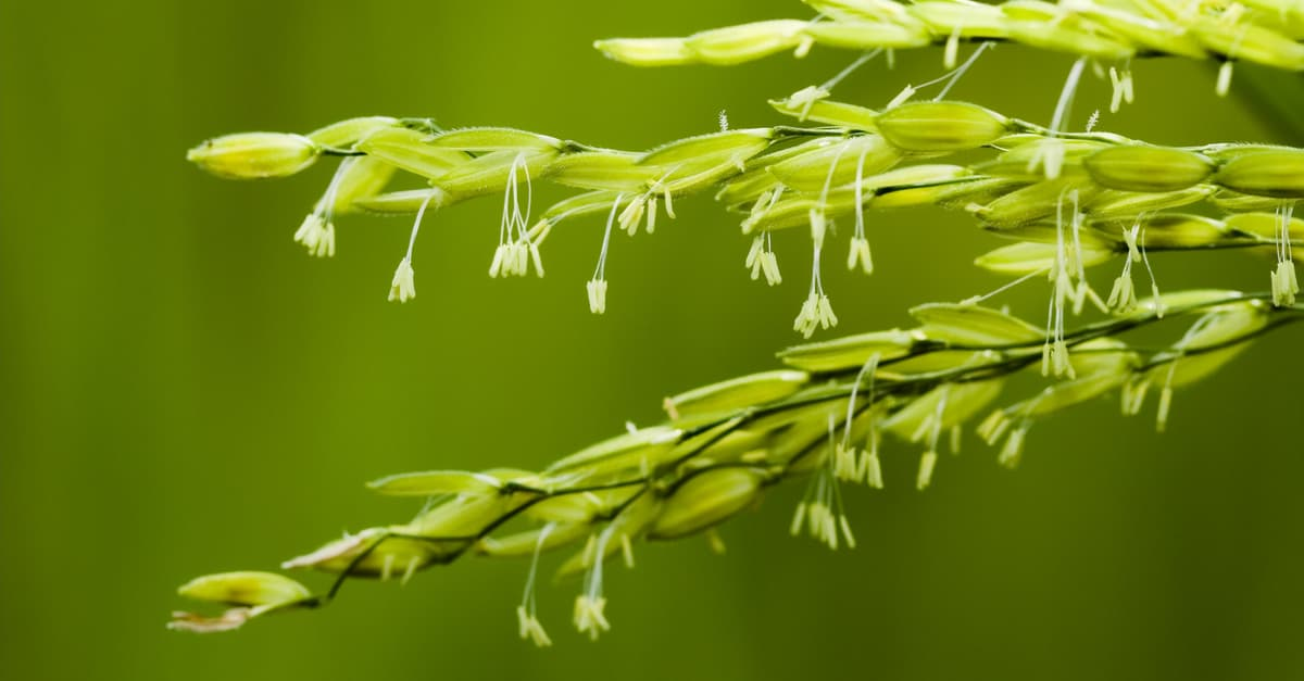 Rice bacterial blight symptomatology occurs during flowering